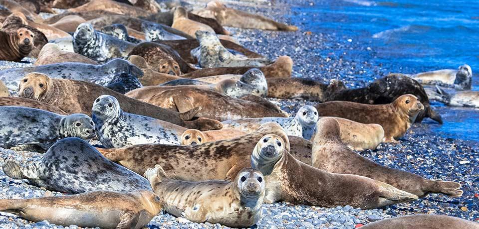 Helgoland Robben – Die Robben auf der Helgoland Düne