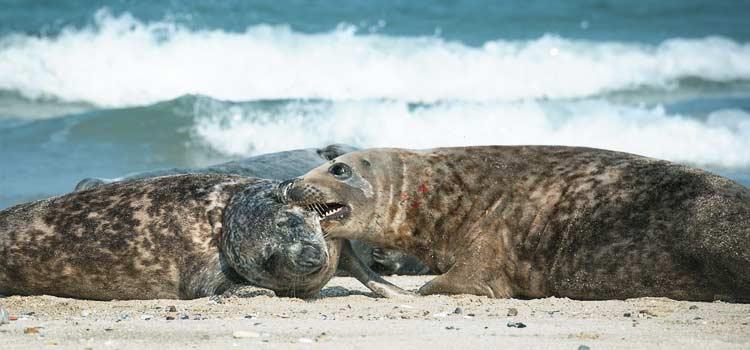 Rangkämpfe von zwei Robben