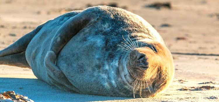 Helgoland Robben - Die Robben auf der Helgoland Düne